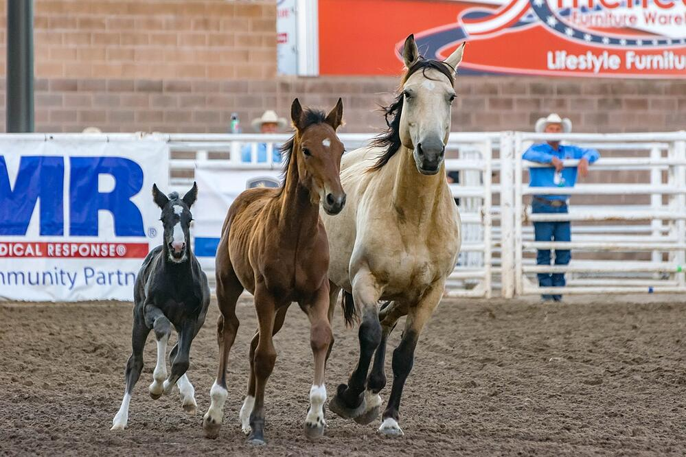 Horses in a rodeo event arena