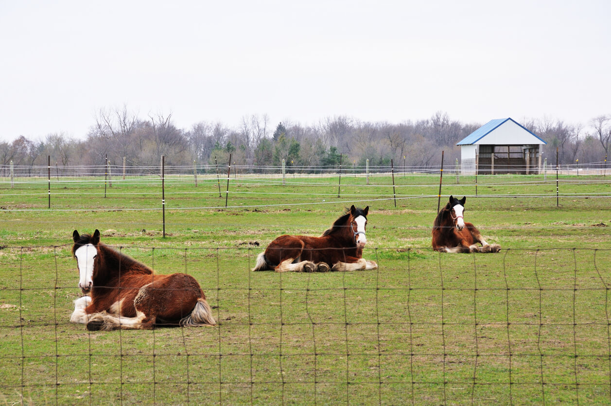 Horses in paddock with loafing shed